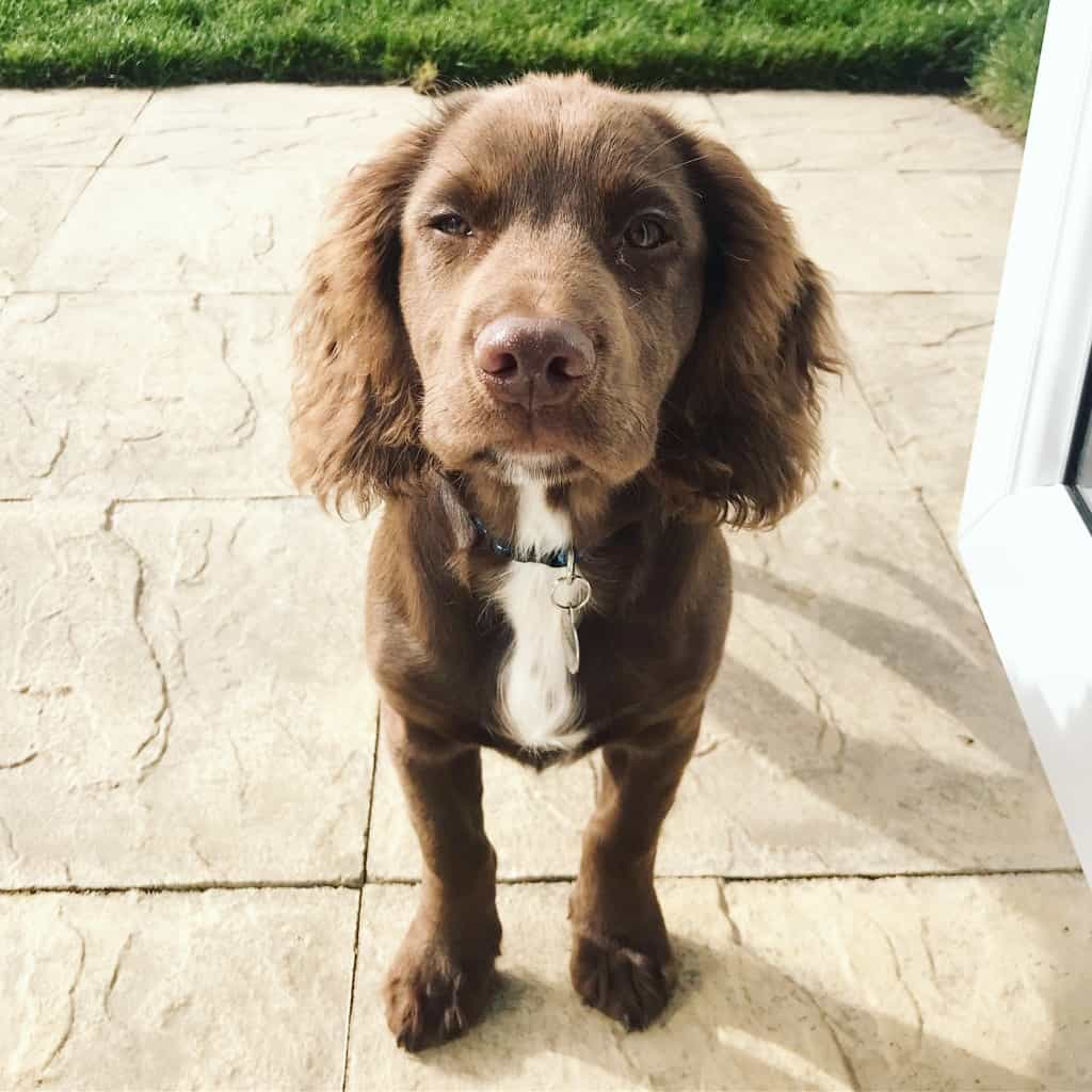 Sprocker Spaniel Breed Information: Everything You Need to Know