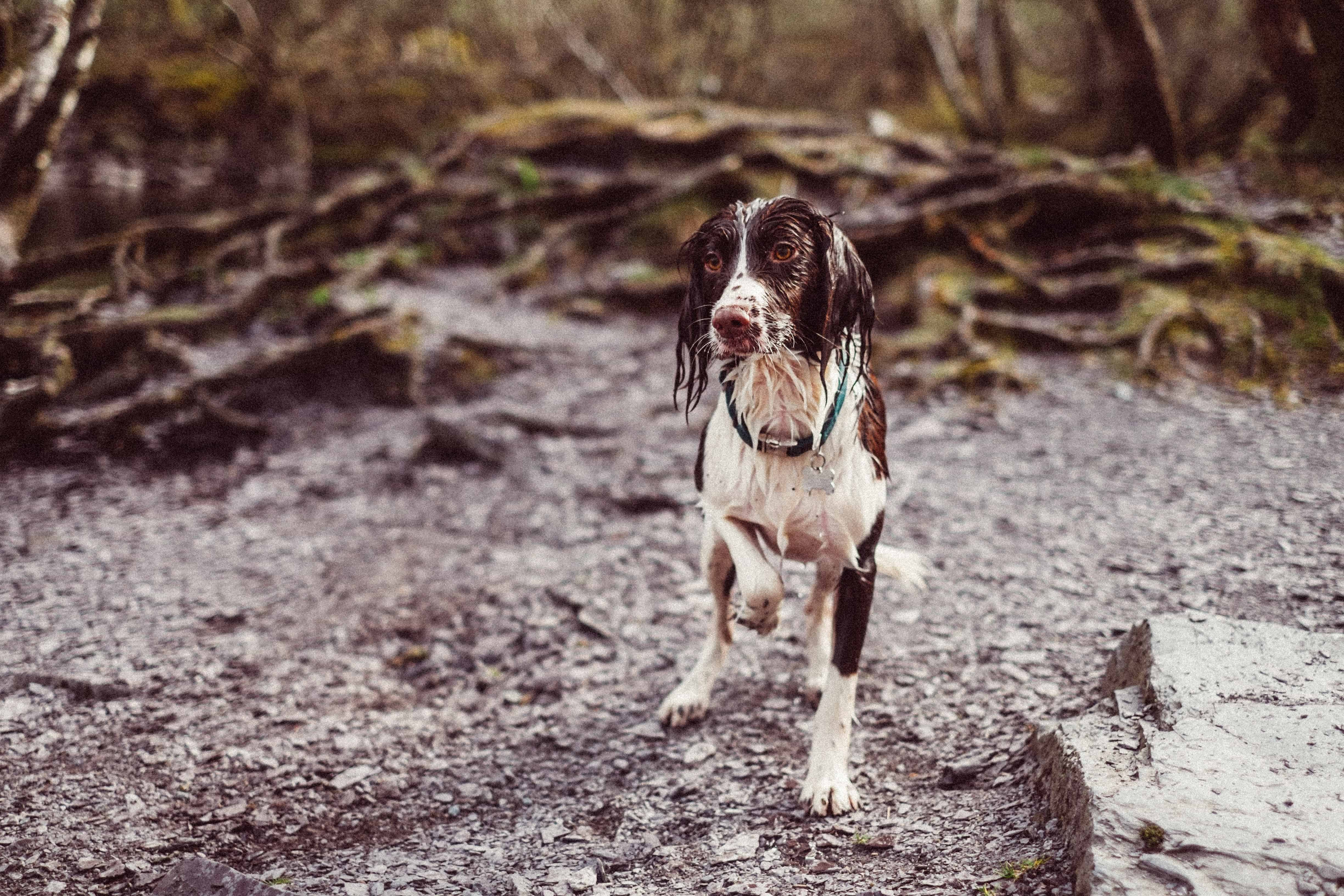 The 4 Types of Spaniel Dogs: Which Spaniel Breed is Best For You?