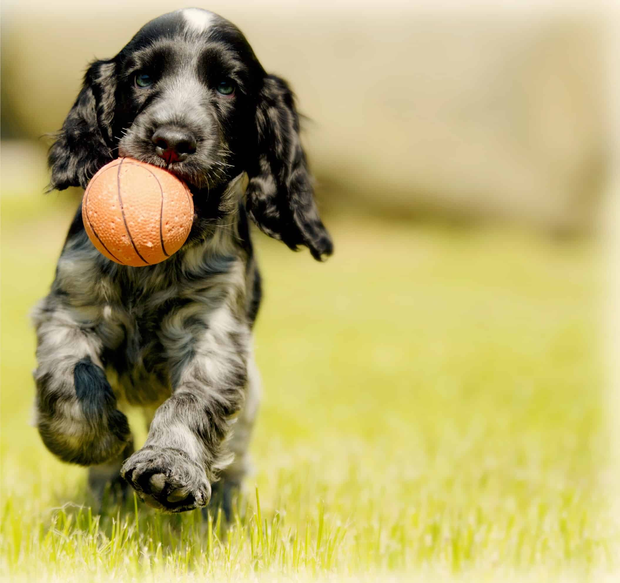 7 Training Games to Keep Your Spaniel Puppy Entertained