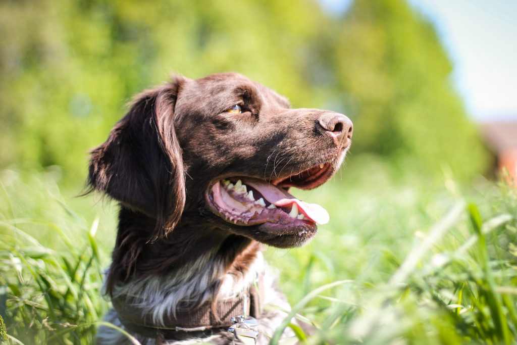 best food for spaniels