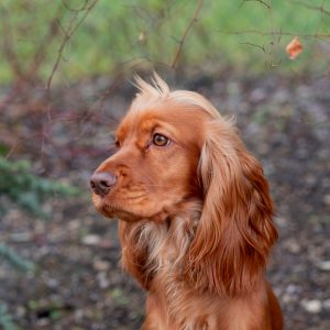 Are Spaniels Good with Cats? (+ 6 Tips to Help Them Get Along)