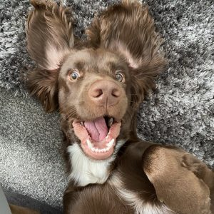Buying a Sprocker Spaniel Puppy? Here's What You Need to Know