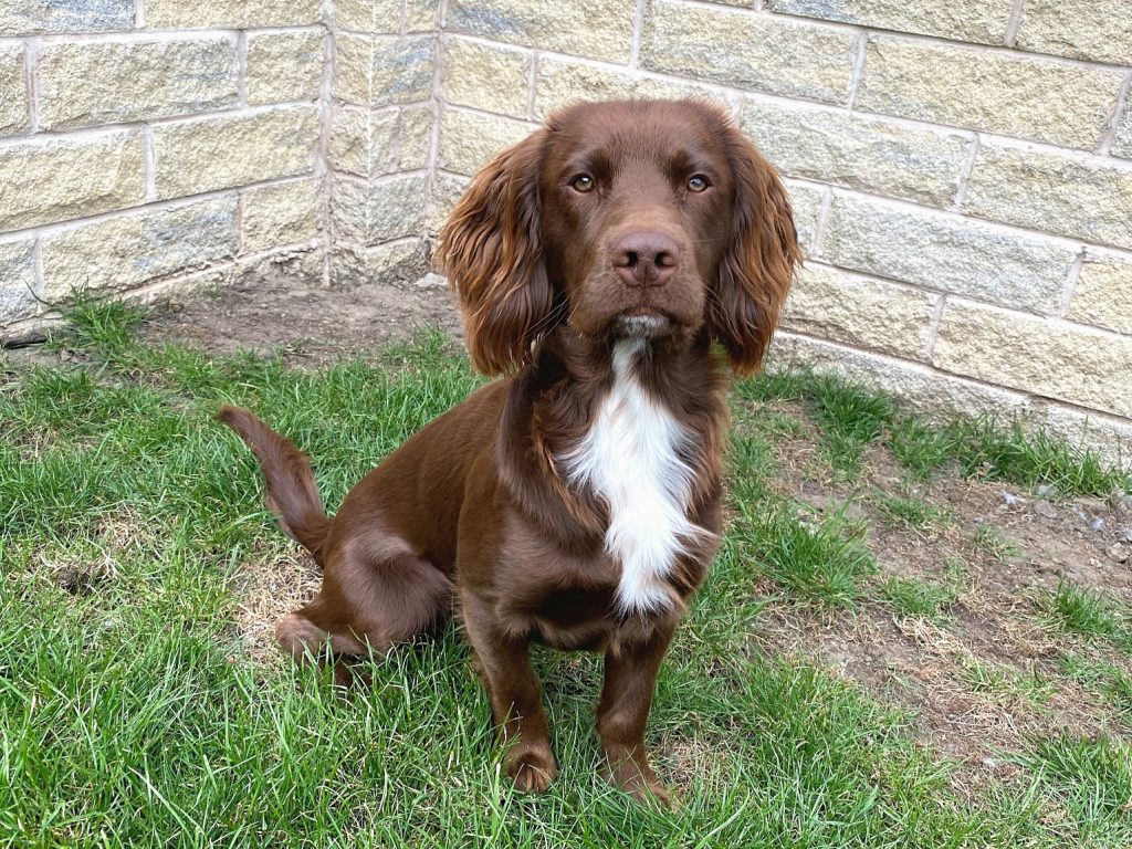 sprocker breeders uk