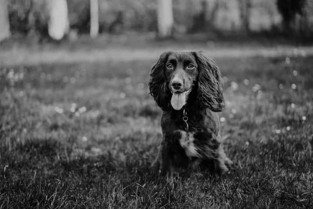spaniel training commands