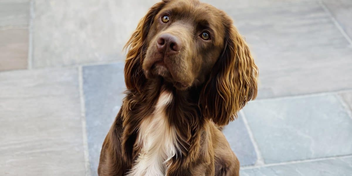 sprocker spaniel breeders uk